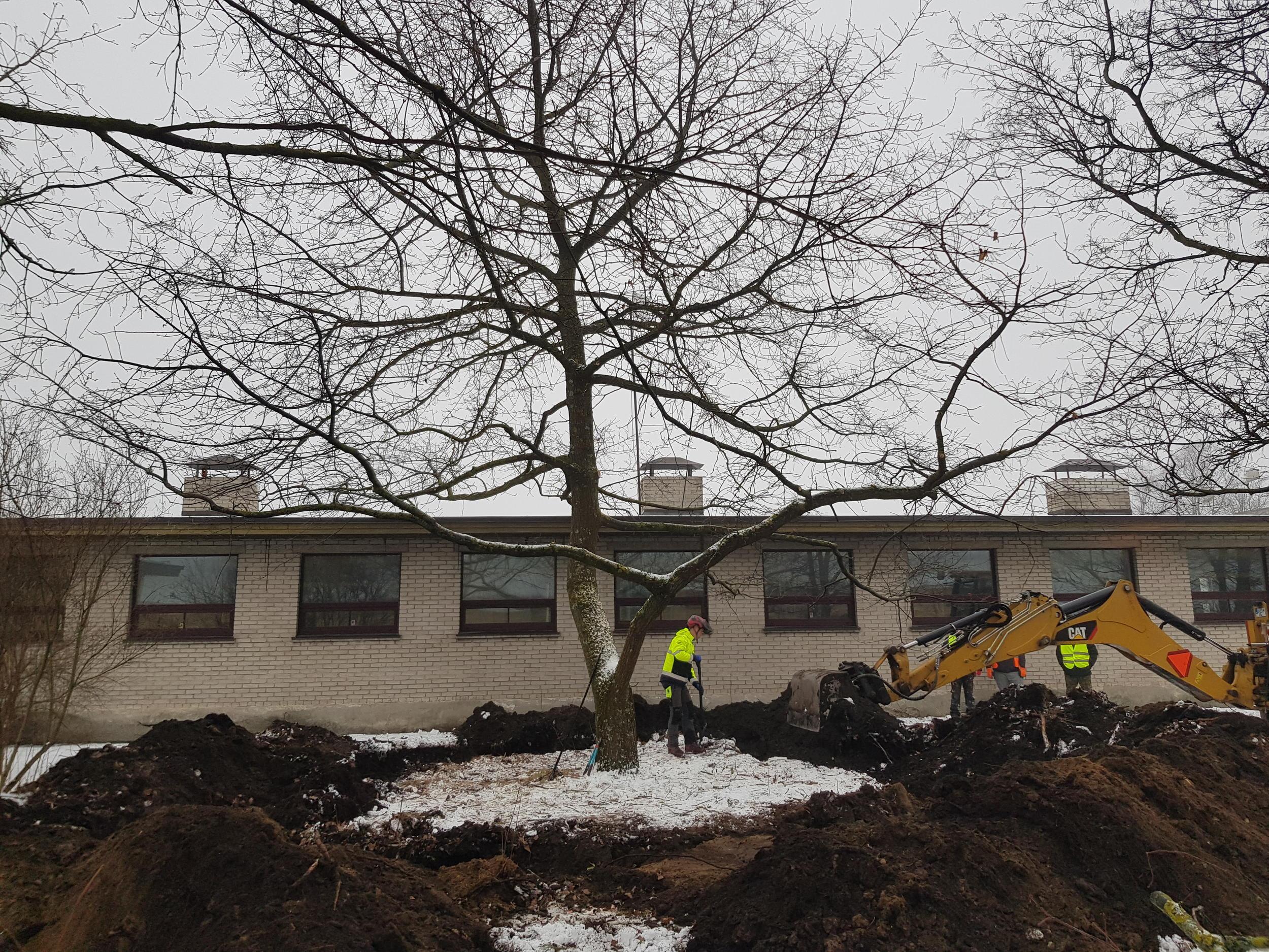 medewerkers van Arbor zijn bezig met het verplanten van bomen